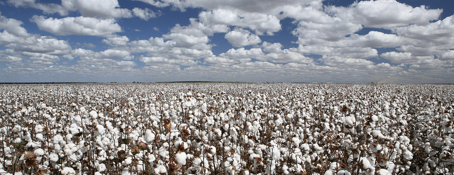 stock-photo-cotton-plantation-with-blue-sky-and-white-clouds-485087506_rotator.jpg